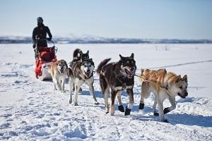 Alaska dog runner